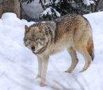 Злой серый волк