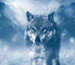 Серый волк зимой