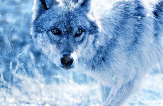 Страшный серый волк