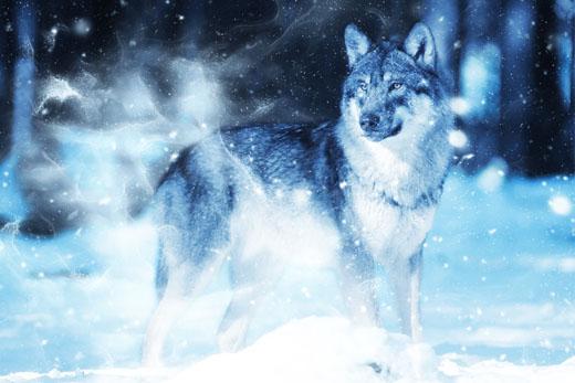 Ночной волк-одиночка