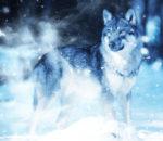 Волк ночью
