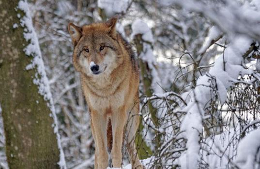 Хищное животное волк