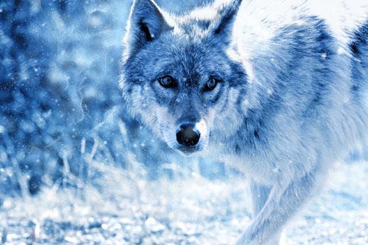Волк темной ночью в лесу