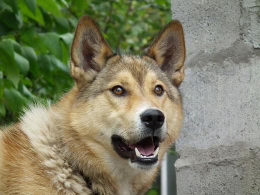 Лайка собака