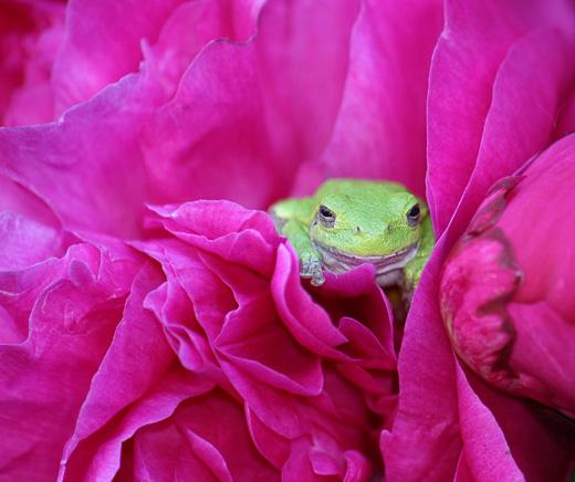 Лягушонок спрятался в цветке