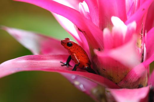 Розовая лягушка в цветке